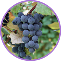 Grape juice and grape jellies and jams are long-time favorites of children and adults alike. America�s favorite grape juice and grape jelly come from Concord grapes.